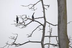 Kormorane auf bloßem Baum Lizenzfreies Stockbild