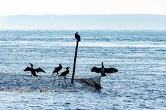 Silhouette of five cormorants sitting at the top of a rod and a flue. Light blue picture of some sea ravens sitting at a fishnet and the top of a rod in the stock image