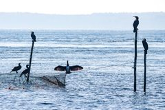 Silhouette of six cormorants sitting at the top of rods and a flue. Light blue picture of some sea ravens sitting at a fishnet and the top of some rods in the stock images