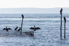 Silhouette of cormorants sitting at the top of rods and a flue. Light blue picture of some sea ravens sitting at a fishnet and the top of some rods in the Baltic royalty free stock photography