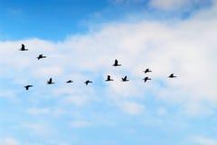 Kormorane Phalacrocoraxkohlenstoff-Gruppenschattenbild, das hoch oben in eine v-Bildung gegen den bewölkten Himmel fliegt Vogelmi lizenzfreie stockfotografie