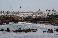 Kormorane und afrikanische Pinguine auf Farbstoff Island Lizenzfreie Stockfotografie