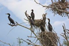 Kormorane und Nester auf einem Baum stockfotos