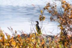 Kormoranfågel Arkivfoto
