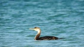 Kormoranfågel på det blåa italienska havet royaltyfri bild