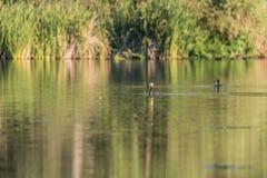 Kormoranfiske i en lagun på gryning fotografering för bildbyråer