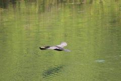 Kormoranflyg längs vatten Arkivfoton
