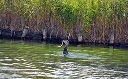 Kormoranhavsfågel som äter en ål per serie av 5 bilder Royaltyfria Bilder