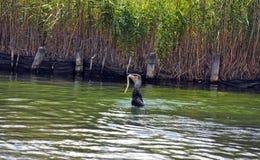 Kormoranhavsfågel som äter en ål per serie av 5 bilder Royaltyfri Bild