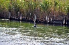 Kormoranhavsfågel som äter en ål per serie av 5 bilder Royaltyfria Foton