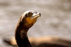 Kormoranhuvud, öga och näbb Royaltyfri Foto