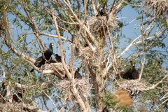 Kormorankolonien in Donau-Delta, Vogelbeobachtung Rum?nien-wild lebender Tiere stockfotografie