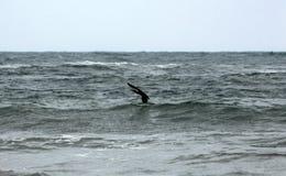 KormoranPhalacrocoraxcarbo ovanför det stormiga havet vinkar royaltyfria bilder