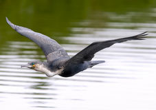 kormoranu breasted biel Obrazy Stock