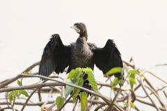 Kormoranu mały ptak Obraz Stock