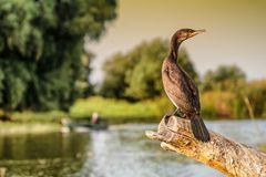 Kormoranu Phalacrocorax auritus w Danube delcie Rumunia Zdjęcie Royalty Free