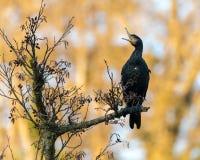Kormoranu Phalacrocorax carbo z otwartym belfrem fotografia royalty free