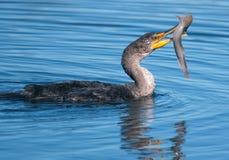 kormoranu połów Obraz Royalty Free
