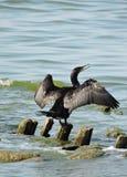 Kormoranu ptak Zdjęcie Royalty Free