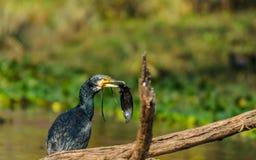 Kormoranu ptak z chwytem Zdjęcia Royalty Free