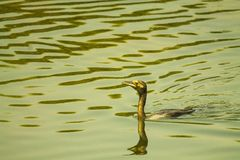 Kormoranu ptaka dopłynięcie Obraz Royalty Free