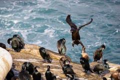 Kormoranu ptasi przybycie wewnątrz dla desantowej losu angeles Jolla plaży, San Diego, Kalifornia, fotografia stock