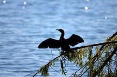 Kormoranvögel in See prespa, Macedonia stockbilder