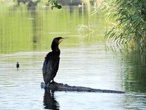 Kormoranvogel, der auf Baumast stillsteht Stockbild