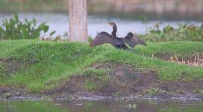 Kormoranvogel, offene Flügel Lizenzfreies Stockfoto