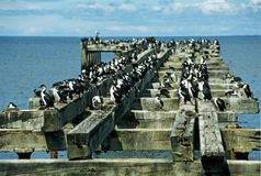 kormorany kolonii zdjęcie stock