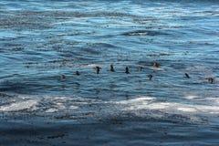 Kormorany lata na oceanie, Kalifornia Zdjęcia Stock