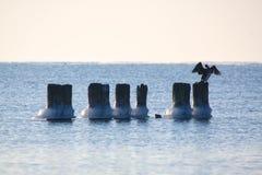 kormorany marznący pilony obrazy stock