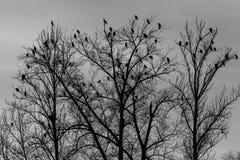 Kormorany na drzewach fotografia stock