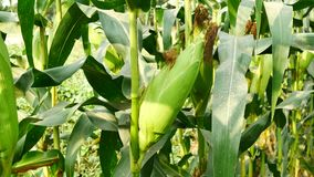Kornähre bereit zur Ernte, Maisfeld, Maisbauernhof Landwirtschaftliches Konzept, landwirtschaftliches Industriekonzept stock footage