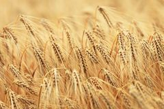 Korn är moget Arkivfoto