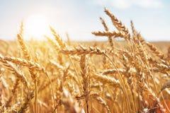 Korn auf einem Bauernhofgebiet und -sonne Stockbild