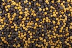 Korn av guling och purpurfärgad eller svart senap Royaltyfria Foton