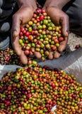 Korn av moget kaffe i handbreadthsna av en person 5 2009 för tanzania för östlig marsch för maasai för africa dans utförande krig Arkivfoton