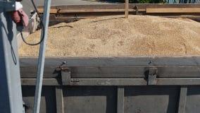 Korn av råg samlas för beslutsamhet av kvaliteten av havre, växten av brödprodukter, företag av malning lager videofilmer