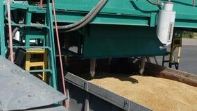 Korn av vete samlas för beslutsamhet av kvaliteten av havre, växten av brödprodukter, företag av malning stock video