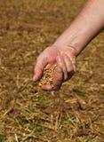 Korn in den Händen Stockbild