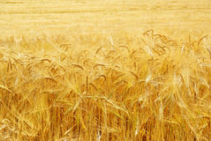 Korn an der Ernte, Hintergrund. lizenzfreie stockfotografie
