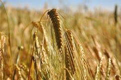 Korn in der Sommersonne Lizenzfreies Stockbild