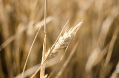 Korn des Weizens Stockfoto