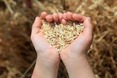 Korn des Weizens in den Händen des kleinen Mädchens Lizenzfreie Stockfotos