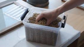 Korn för en handfull av vete, korn, havren, råg tas från en behållare för analys eller kvalitets- kontroll arkivfilmer