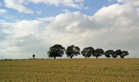 Korn-Feld mit Bäumen in der Zeile Lizenzfreie Stockbilder