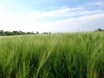 korn field01 Royaltyfri Fotografi