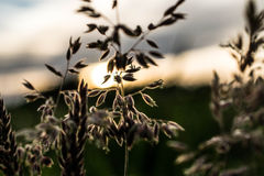 Korn framme av solnedgången arkivfoto