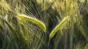 Korn i fältet, skördfält Royaltyfri Fotografi